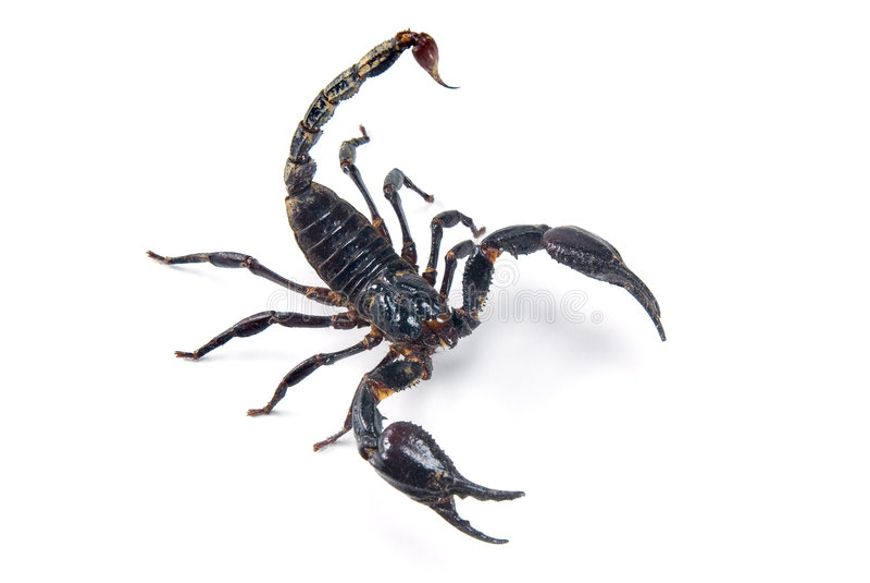 Download Scorpion stock image. Image of color, caution, invertebrate - 3917575