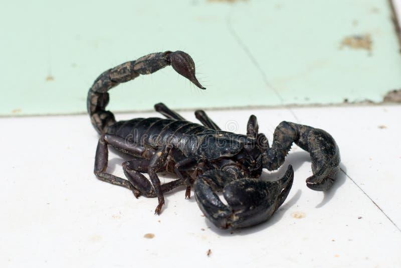 scorpion images libres de droits