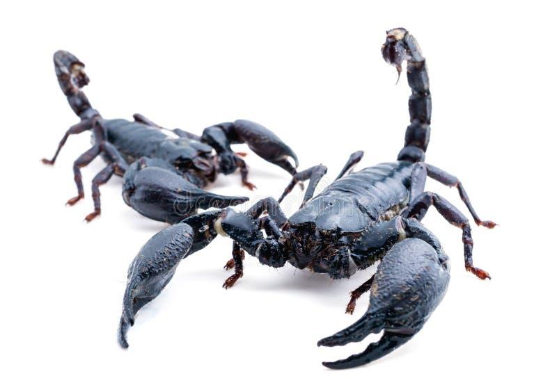 scorpion imagen de archivo