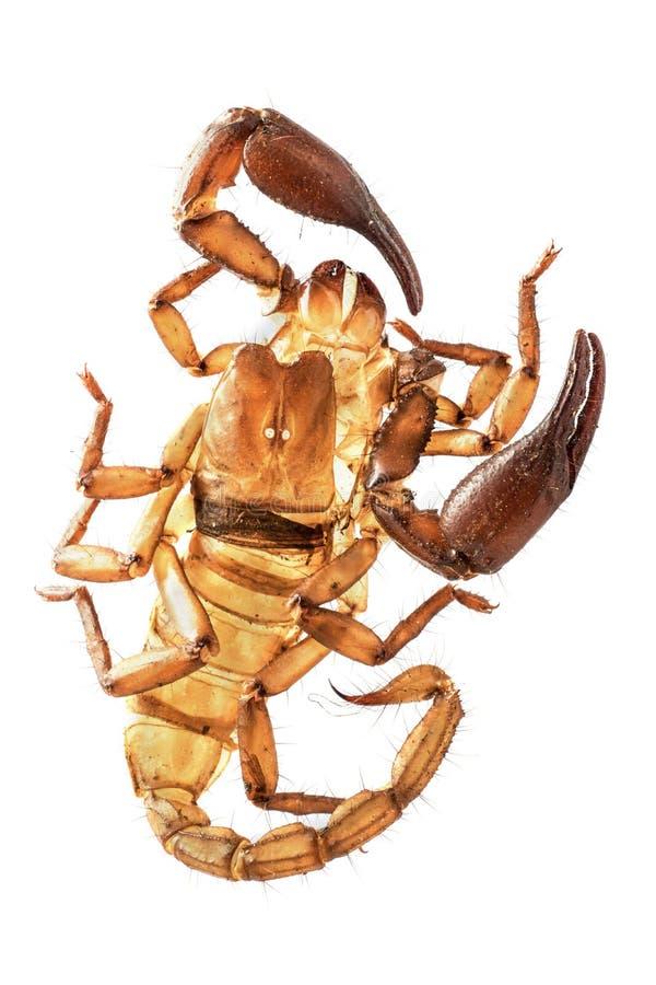scorpion stockbilder