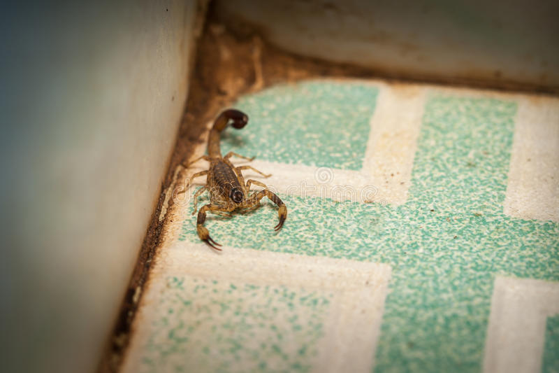 Scorpion agressif images stock