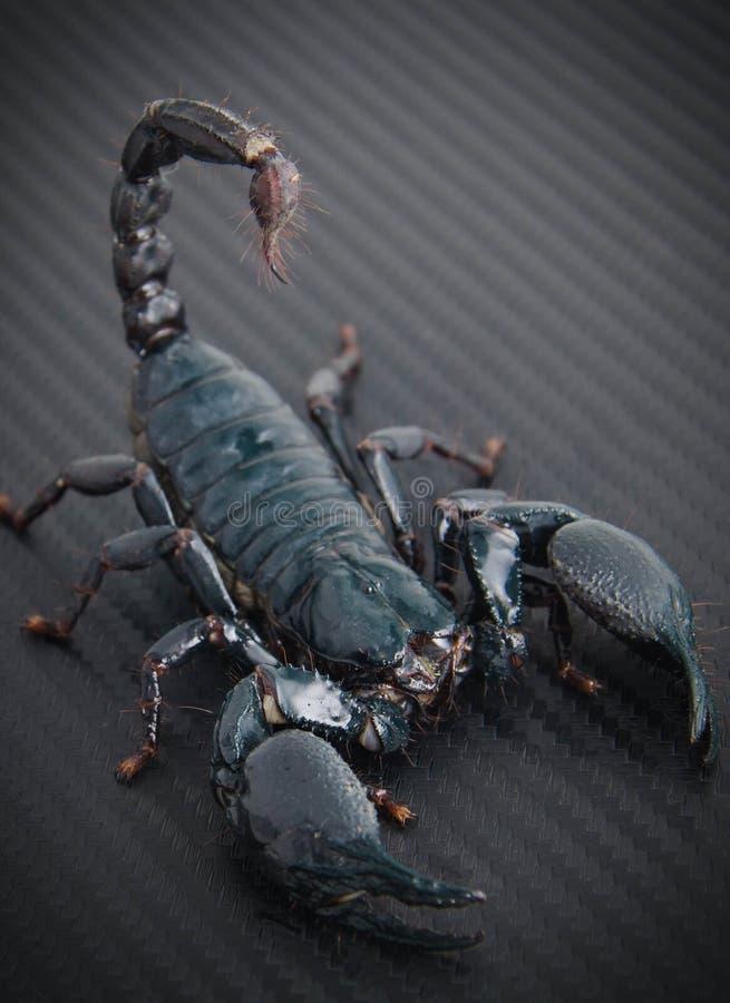 Scorpion. Ahead Poisonous animals dangerous royalty free stock image