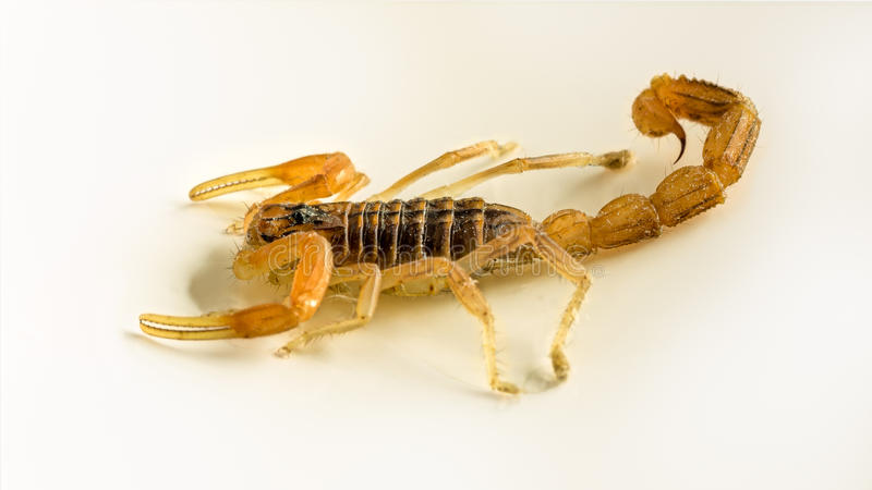 Scorpion. Baby scorpion isolated close up royalty free stock photos