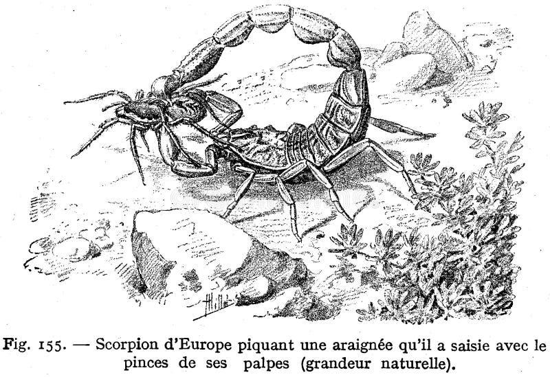Scorpion Commun Free Public Domain Cc0 Image
