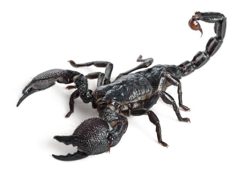Scorpion d'empereur, imperator de Pandinus, 1 an photo stock