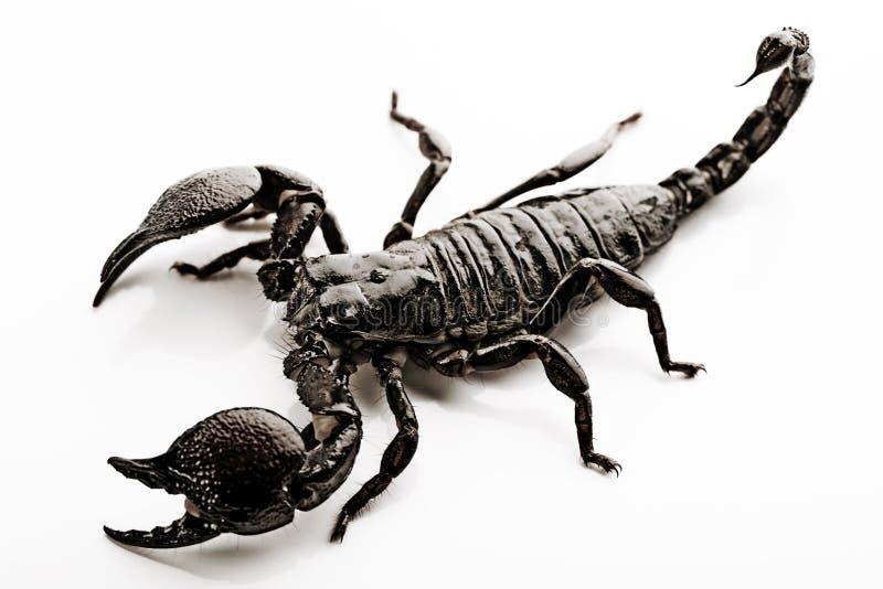 scorpion d'emporer photo libre de droits