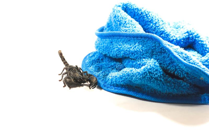 Scorpion, with attack royalty free stock photos