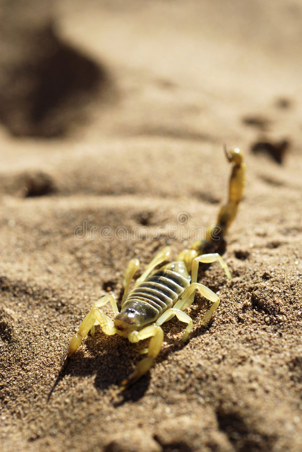 Scorpion on desert sand stock image