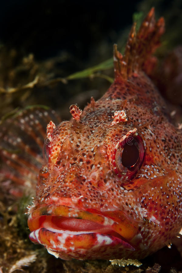 Free Scorpion-fish Royalty Free Stock Image - 18936086