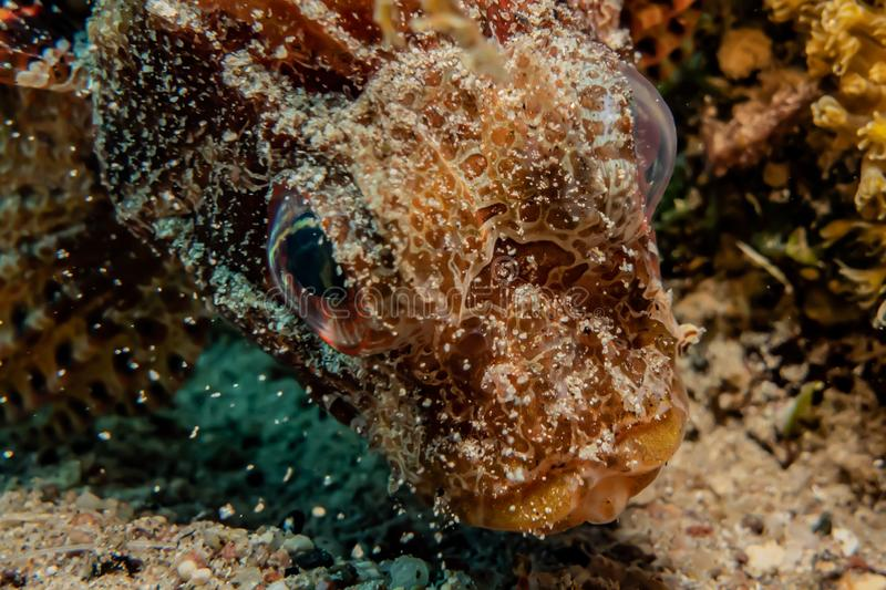 Scorpion fish Amazing camouflage in the Red Sea stock photography