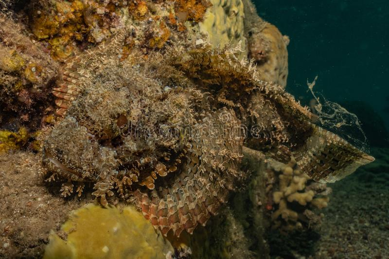 Scorpion fish Amazing camouflage in the Red Sea stock images