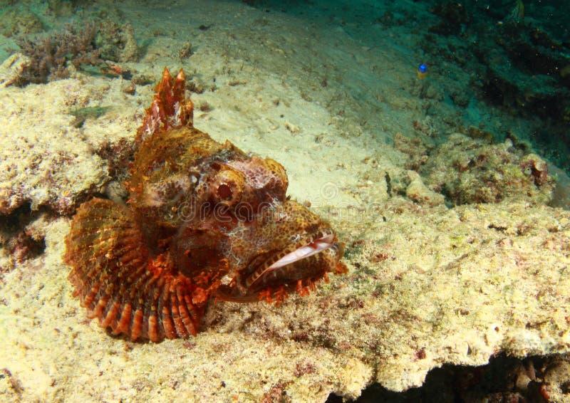 Scorpion fish having a rest stock photos