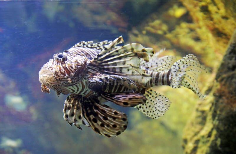 Scorpion Fish Royalty Free Stock Photo
