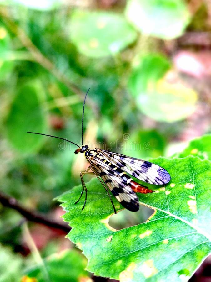 Scorpion fly Mecoptera Panorpa Communis royalty free stock image