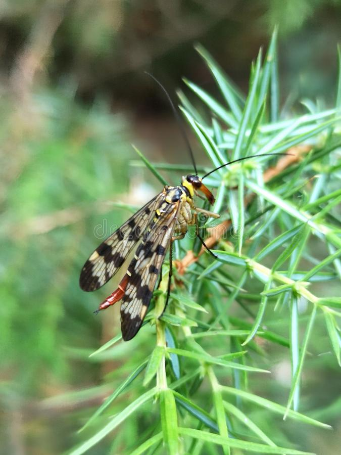 Scorpion fly Mecoptera Panorpa Communis on green leaf in garden. royalty free stock image
