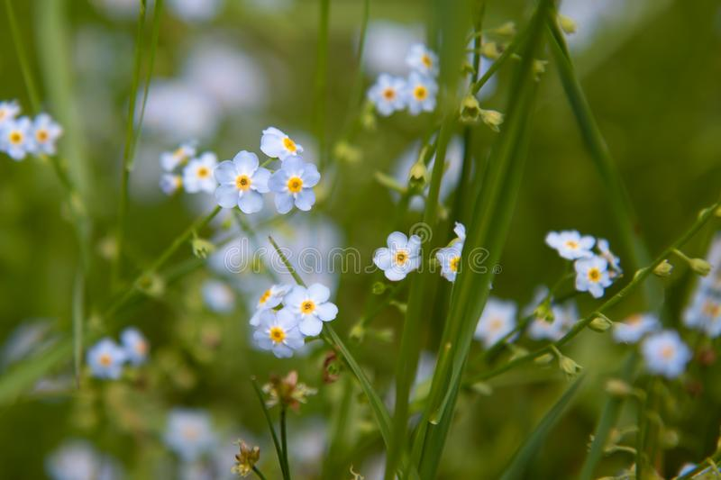 Scorpion Grasses Forget-me-Not Blue Flowers in Summer royalty free stock image
