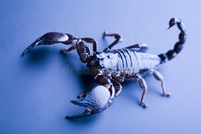 scorpion huit à jambes image stock