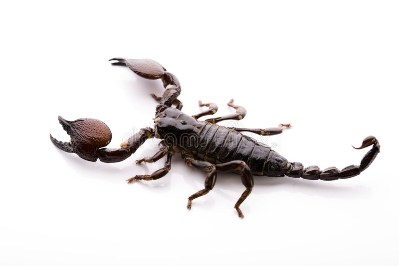 Scorpion - isolated on white royalty free stock photography