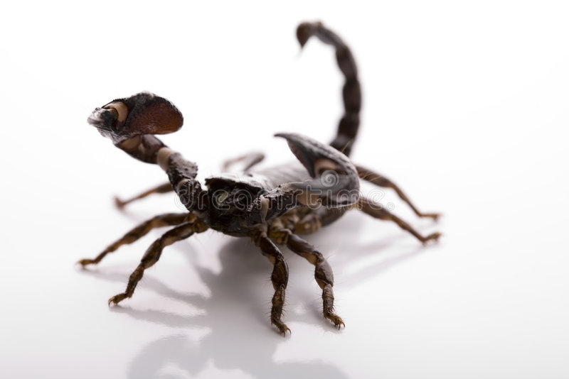 Scorpion - isolated on white stock photography