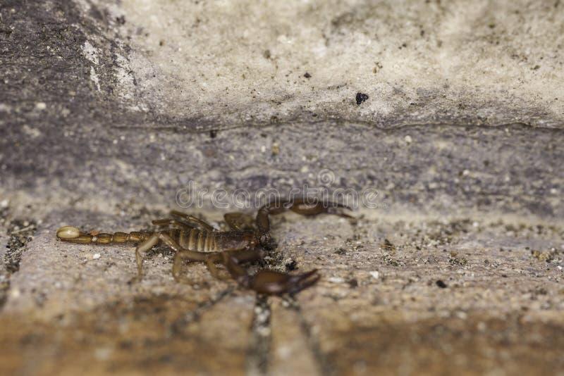 A Scorpion Royalty Free Stock Photo