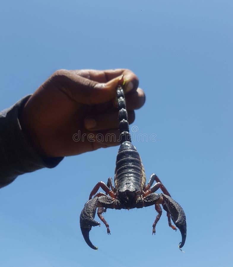 Scorpion noir photos libres de droits