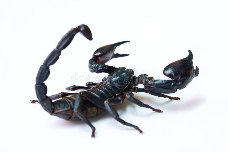 Scorpion noir d'isolement image libre de droits
