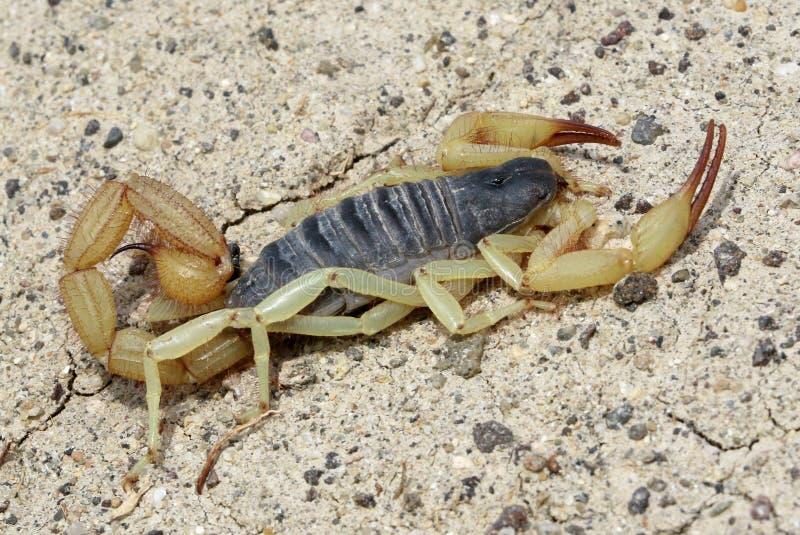 Scorpion noir-De retour - spadix de Hadrurus image stock