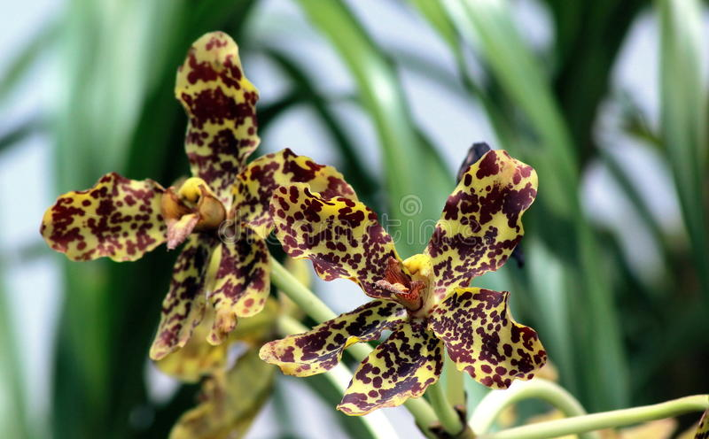 Scorpion orchids. Orchid genus Dragonfly (Arachnis) is also known as Scorpion orchid flower shape is similar, because the Scorpions (while Thailand is similar to royalty free stock photo