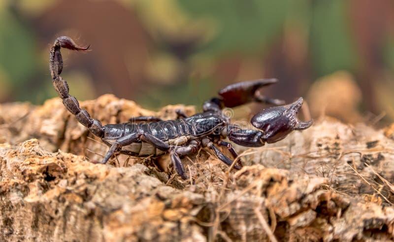 Scorpion, plan rapproché sur les déchets de bois naturels photo stock