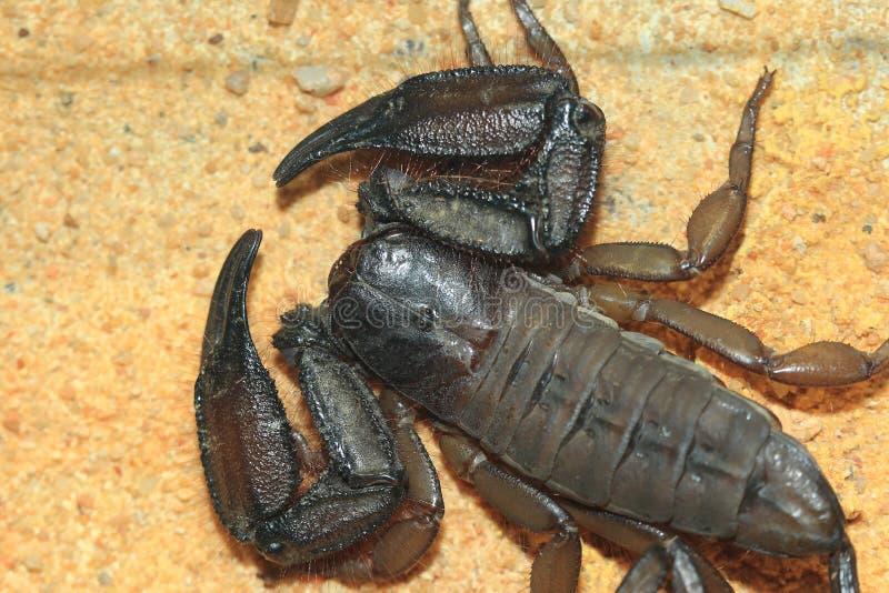 Scorpion plat de roche image stock