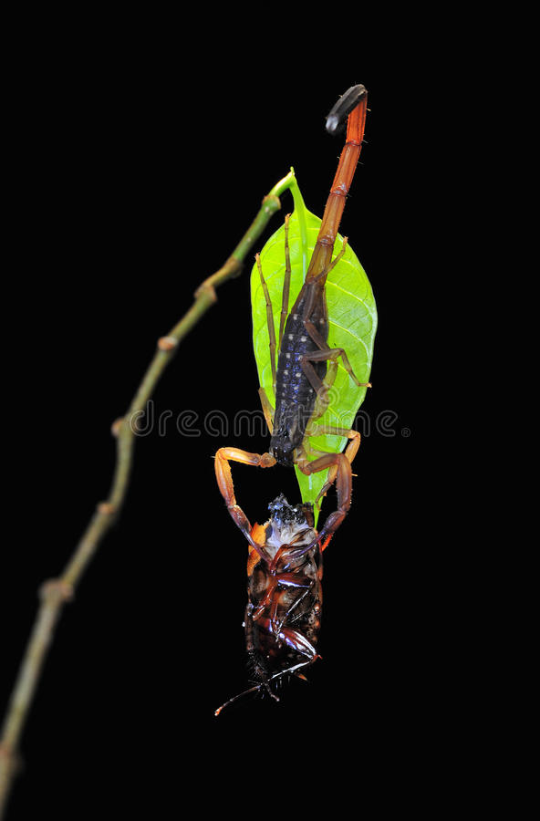 Download Scorpion with prey stock image. Image of catch, nature - 26714219