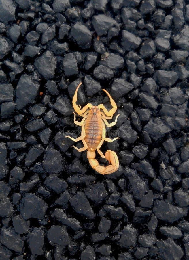 Scorpion rouge photographie stock
