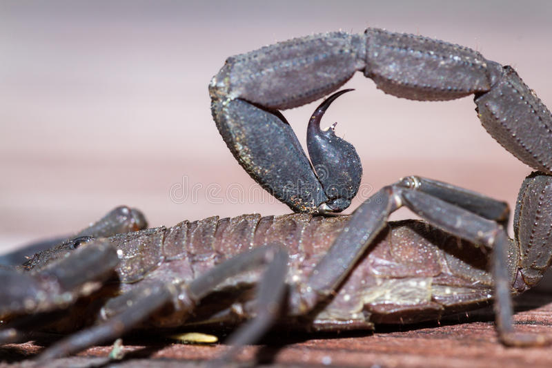 Scorpion stinger close up royalty free stock image