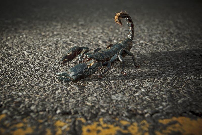 Scorpion scorpion white animal isolated background stock images