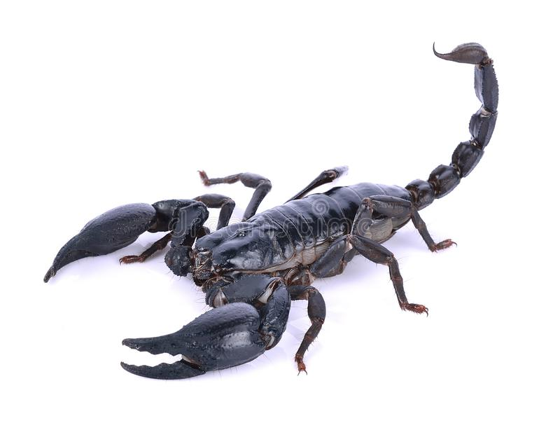 Scorpion of a white background. stock photos