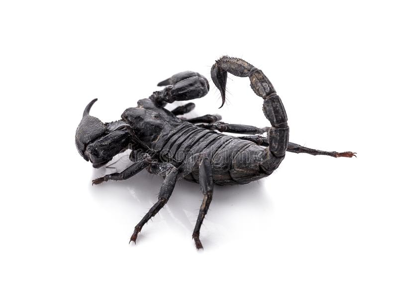 Scorpion an isolated on white background stock photo