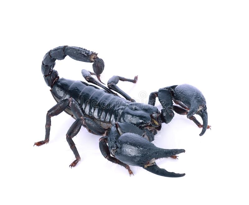Scorpion of a white background. stock images