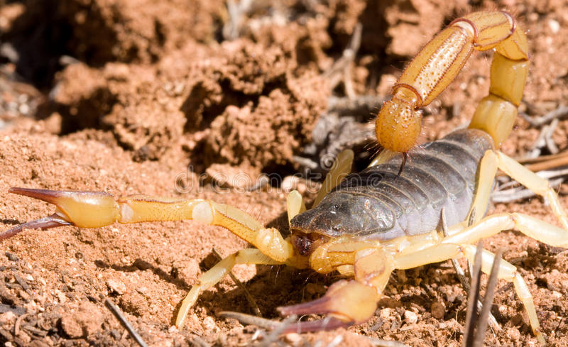 scorpione fotografie stock libere da diritti