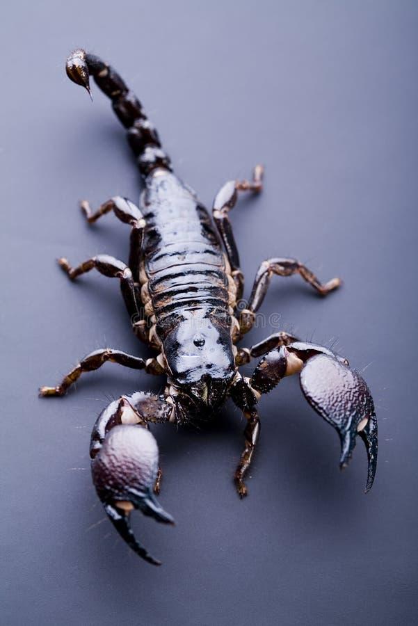 Download Scorpione fotografia stock. Immagine di deserto, tossico - 7318694