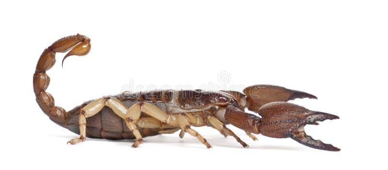 Scorpione Burrowing lucido fotografia stock