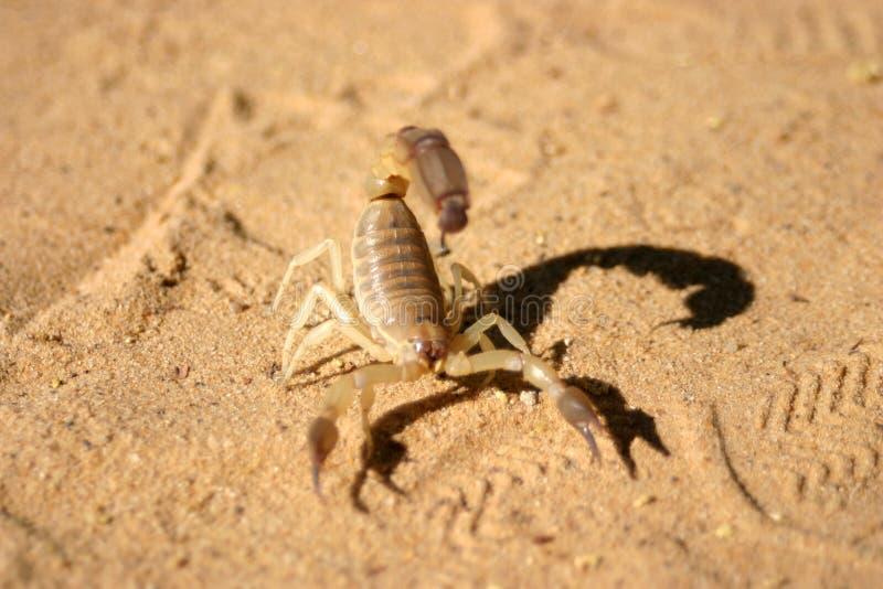 Scorpione che striscia nella sabbia da qualche parte nel Sahara immagini stock libere da diritti