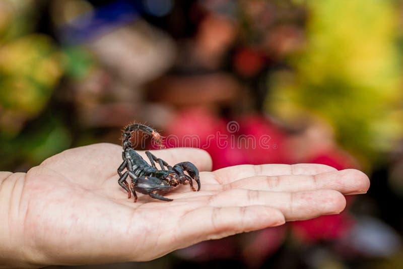 Scorpione a disposizione fotografie stock libere da diritti