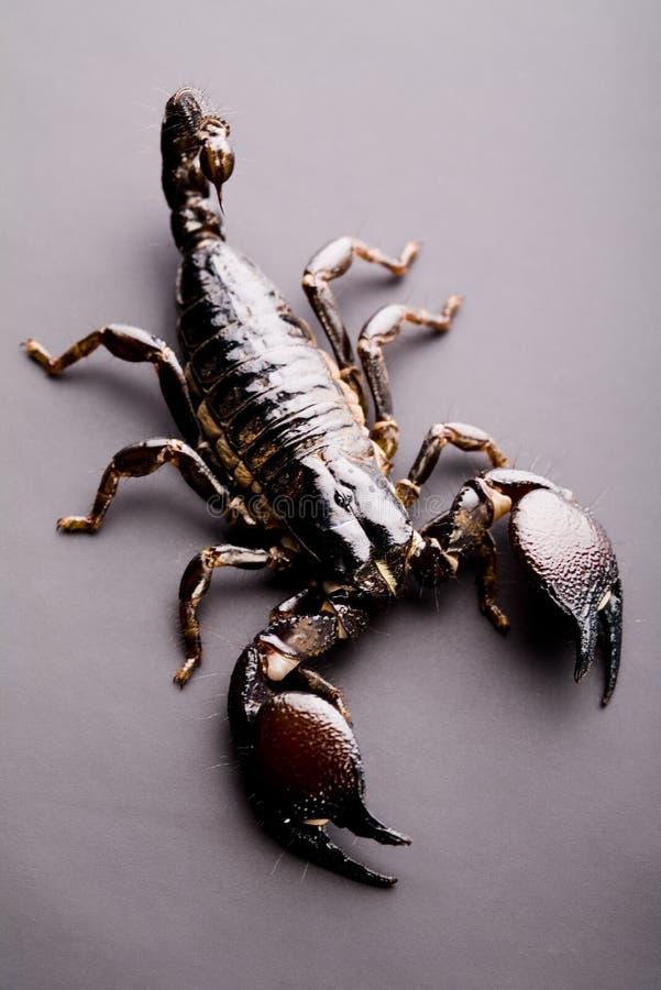 Download Scorpione Otto-fornito Di Gambe Immagine Stock - Immagine di iniezione, erectile: 7318451