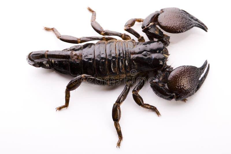 Download Scorpione Otto-fornito Di Gambe Fotografia Stock - Immagine di lotta, organismo: 7318524