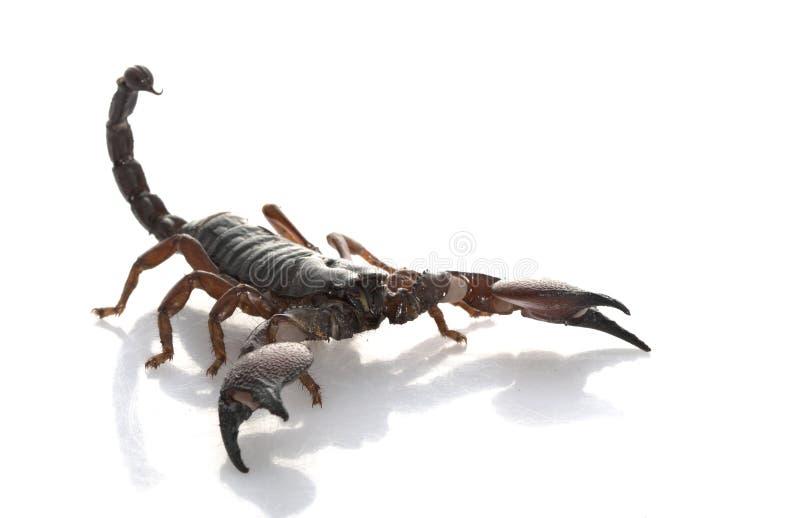 Scorpione rosso della branca fotografia stock