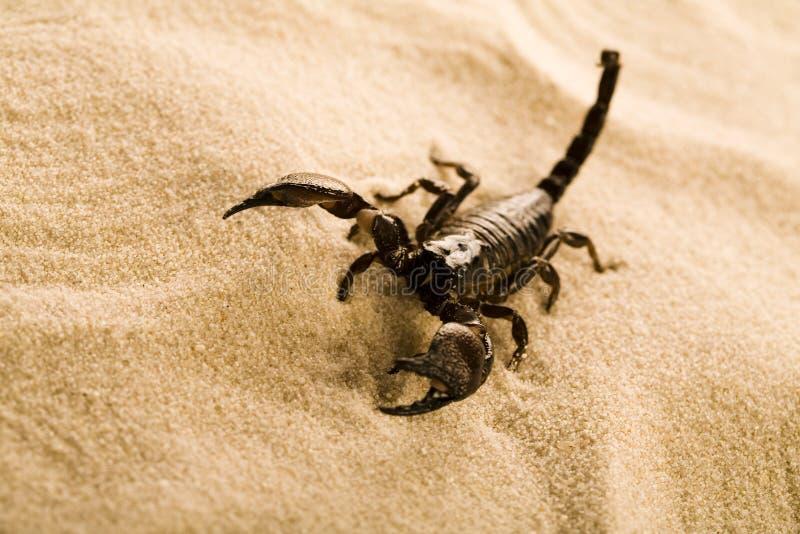 Scorpione sulla sabbia immagini stock