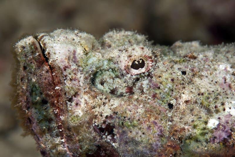 scorpionfish дьявола стоковые фотографии rf