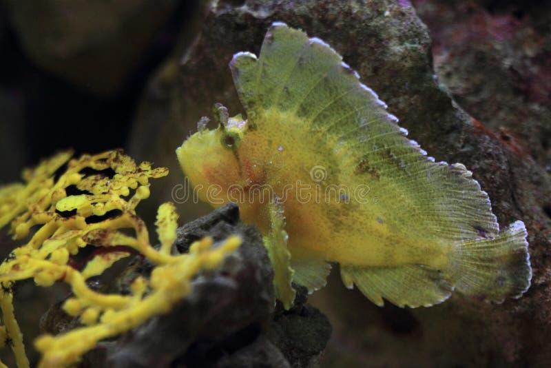 scorpionfish листьев стоковая фотография rf