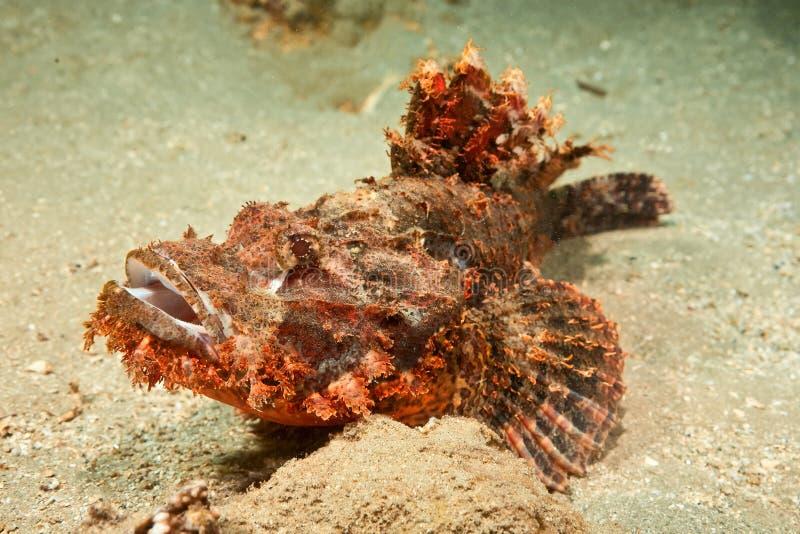 scorpionfish мелкомасштабный стоковые фотографии rf