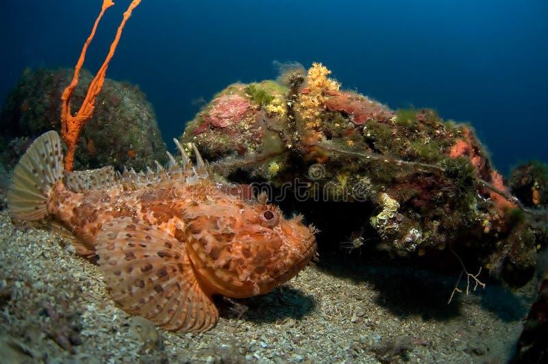 scorpionfish Хорватии стоковые фото